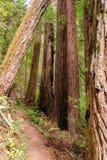 Floresta nacional da sequoia vermelha Fotografia de Stock