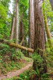 Floresta nacional da sequoia vermelha Imagens de Stock Royalty Free