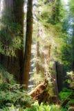 Floresta nacional da sequoia vermelha Foto de Stock