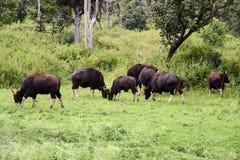 Floresta nacional de Bandipur Fotografia de Stock