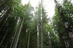 Floresta nas montanhas As partes superiores das árvores foto de stock royalty free