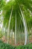 Floresta natural das árvores de bambu em Hiroshima Imagem de Stock