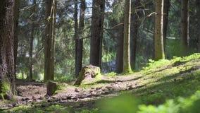 Floresta natural de ?rvores Spruce filme
