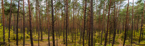 Floresta natural do pinho. Imagens de Stock Royalty Free