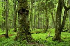 Floresta natural velha Imagem de Stock