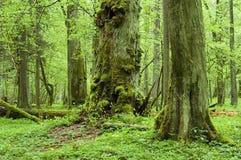 Floresta natural velha Fotos de Stock Royalty Free