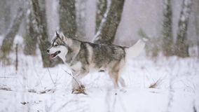 Floresta nevado do inverno novo de Husky Dog Running Outdoor In do Siberian video estoque
