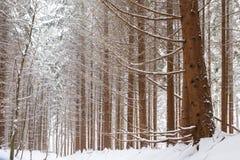 Floresta nevado do pinho em Europa Imagem de Stock