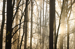 Floresta nevoenta Fotografia de Stock Royalty Free