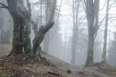 Floresta nevoenta com as árvores de faia em Mala Fatra NP, Eslováquia Imagem de Stock Royalty Free