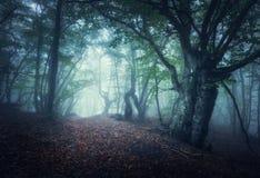 Floresta nevoenta do outono místico na manhã Árvores velhas foto de stock royalty free