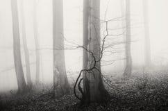 Floresta nevoenta misteriosa com árvores velhas Foto de Stock