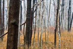 Floresta nevoenta surreal Fotos de Stock