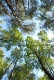 Floresta no fundo do céu Foto de Stock