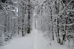 Floresta no inverno com neve Imagem de Stock