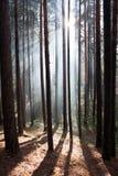 Floresta no névoa os raios do sol Fotos de Stock Royalty Free