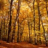 Floresta no outono Imagem de Stock