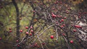Floresta no outono atrasado Bagas brilhantes do espinho Fotografia de Stock