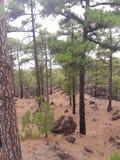 Floresta no parque nacional Tenerife Fotografia de Stock