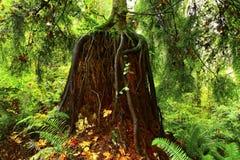 Floresta noroeste pacífica com uma árvore das coníferas do segundo crescimento fotografia de stock