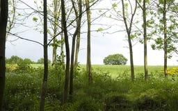 Floresta nova do poplar na mola Imagens de Stock