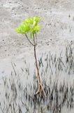 Floresta nova dos manguezais Fotografia de Stock Royalty Free