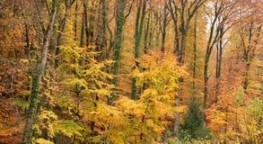 Floresta outonal Imagem de Stock Royalty Free
