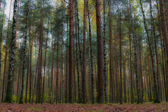 Floresta outonal ilustração do vetor