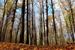Floresta outonal Imagens de Stock