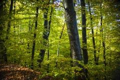 Floresta outonal Fotos de Stock Royalty Free