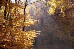Floresta outonal da faia Fotos de Stock Royalty Free