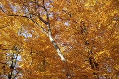 Floresta outonal da faia Fotos de Stock