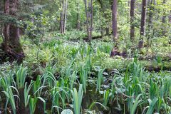 Floresta pantanosa natural na primavera Imagens de Stock