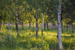 Floresta pequena do vidoeiro Foto de Stock Royalty Free