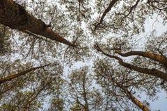 Floresta Phetchabun Tailândia do pinho Fotografia de Stock Royalty Free