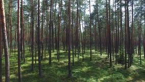 Floresta próxima, vista aérea do pinho video estoque