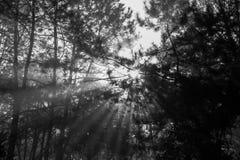 Floresta preto e branco do pinho Imagem de Stock