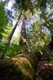 Floresta primária Douglas Firs, Vancôver ocidental, BC imagem de stock