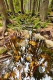 A floresta primitiva com The Creek - HDR Imagem de Stock