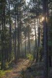 Floresta profunda da árvore do pino, claridade do sol foto de stock