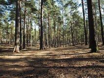 Floresta que ensolarada do pinho o sol est? brilhando brilhantemente em detalhes e em close-up de uma floresta do pinho imagens de stock