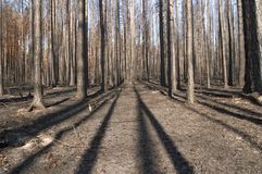 Floresta queimada Imagens de Stock Royalty Free