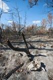 Floresta queimada com crânio Imagens de Stock Royalty Free