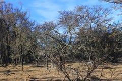 Floresta queimada e seca em África do Sul imagem de stock royalty free