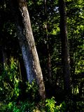 Floresta retroiluminada foto de stock royalty free