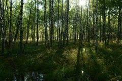 Floresta selvagem bonita do vidoeiro na luz solar do sol da manhã Fotos de Stock