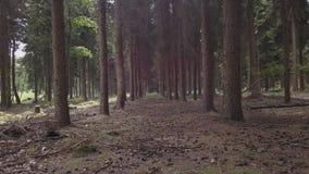 Floresta selvagem com musgo verde sob as árvores Mover-se entre árvores video estoque