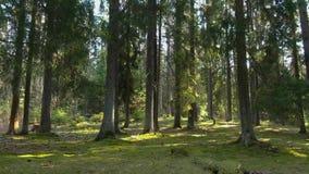 Floresta selvagem do pinho com musgo verde sob as árvores filme
