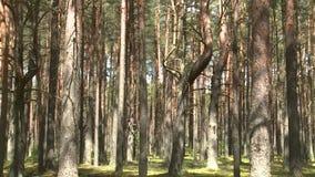 Floresta selvagem do pinho com musgo verde sob as ?rvores Inclina??o acima filme