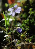 A floresta selvagem floresce o close up de Hepatica na luz solar imagem de stock royalty free